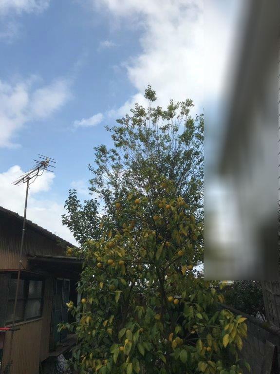 庭木の伐採前